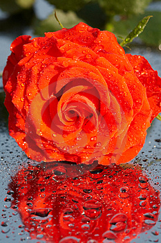 Stock Photo - Red rose