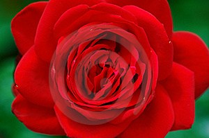 Stock Photo - rose flower