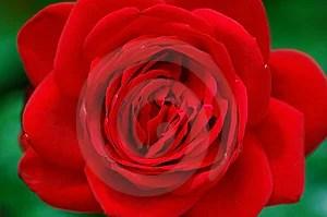 Stock Photo - rose flower