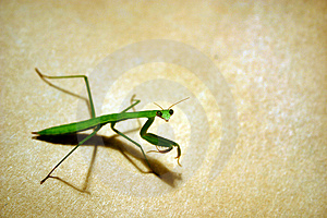 Stock Photography - Praying Mantis