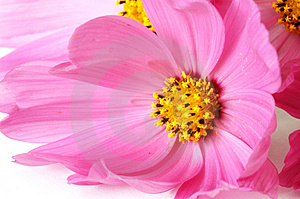 Stock Photos - Close-up pink daisies