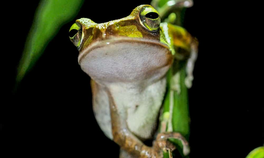 High Quality Free Frog Sound Effects