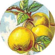 A gorgeous vintage illustration of golden apples.