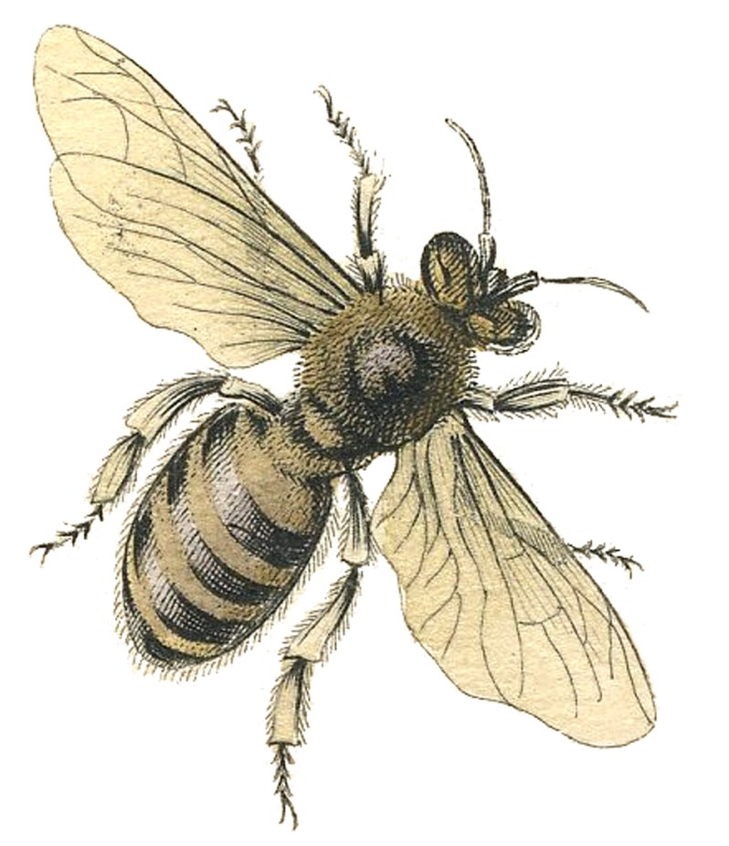 This vintage illustration depicts a single bee in detail.