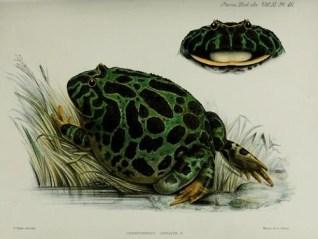 public domain frog illustration 19