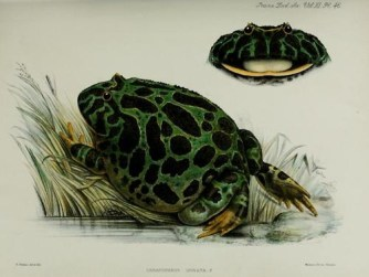 vintage scientific illustration of a frog. Public Domain Image