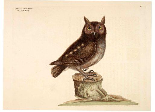 public domain vintage owl image 15