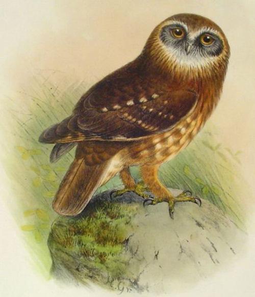 public domain vintage owl image 18