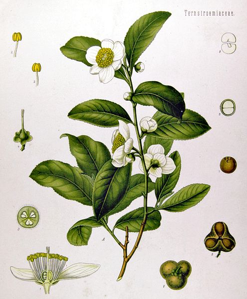 vintage color illustration of camellia plant