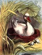 public domain vintage book illustration of duck