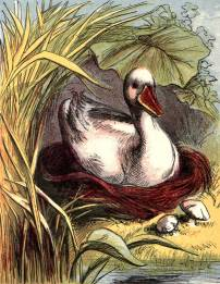 public domain vintage book illustration of duck