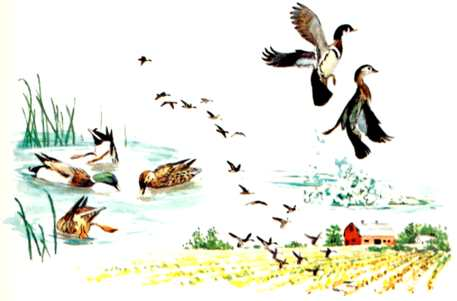 A public domain vintage illustration of ducks and geese outside