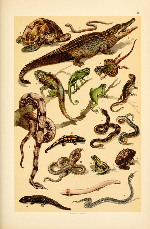 These are free vintage illustrations of wild snakes, reptiles, and more animals from a 1895 out of copyright science book for kids