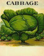 free vintage color illustration of cabbage image 2