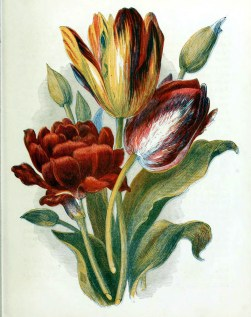 free antique book illustrations of multicolor country flowers tulips