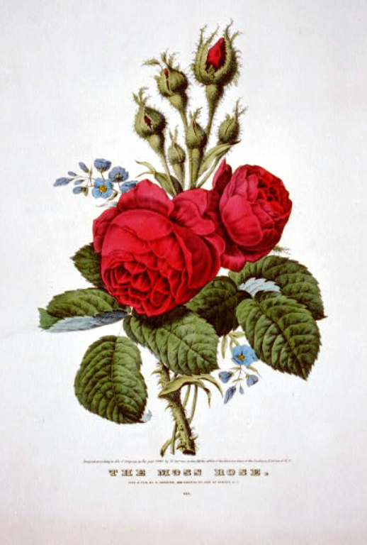Vintage Images For Mothers Day Antique Rose Illustrations In The Public Domain