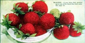 antique box of fresh strawberries