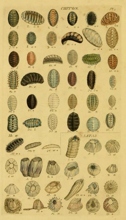 Free antique scientific illustration of chiton shells