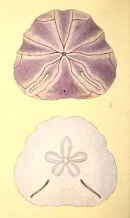 Free antique science illustration of beautiful purple sand dollars