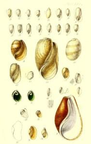 Free antique illustration of sea shells from 17th century publication
