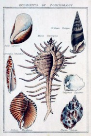 Free antique scientific illustration of shell variety from 18th century science catalog