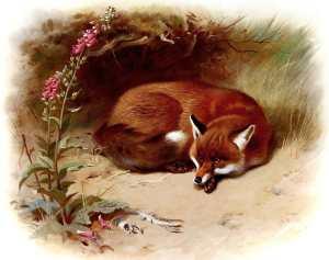 Free to use vintage book illustration of British Fox