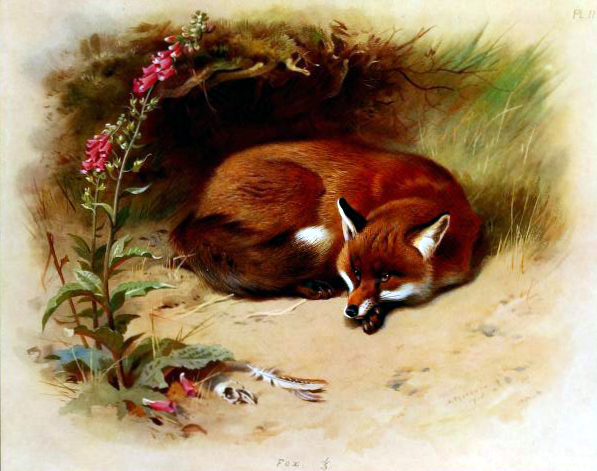 Free to use vintage book illustration of British Fox