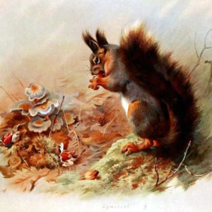 Free vintage book illustration of British Squirrel