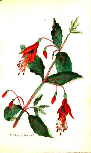 botanical illustration red fuchia