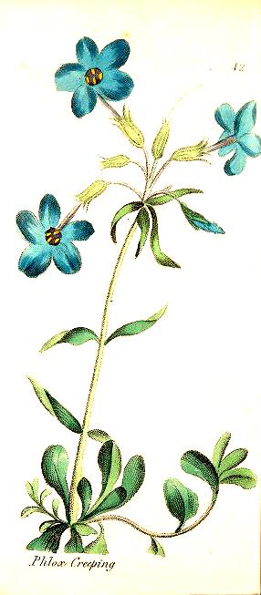 Enjoy this free vintage botanical illustration of a creeping philox houseplant
