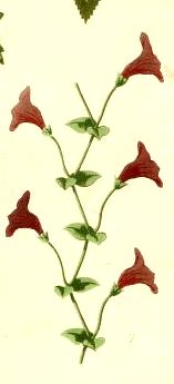 A free antique illustration of a flower sketch