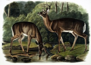 vintage illustration of two deer by lake taking a drink of water