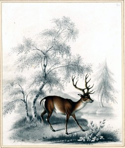Vintage Illustrations Of Deer Fawns And Bucks