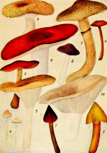 mushroom illustrations 20th century public domain