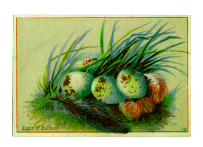 Vintage bird nest clipart of antique bulfinch eggs