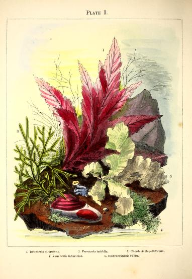 Aquatic garden aquarium illustrations from 1850's