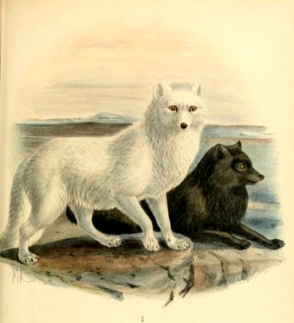 Canine Images of 19th Century Arctic foxes