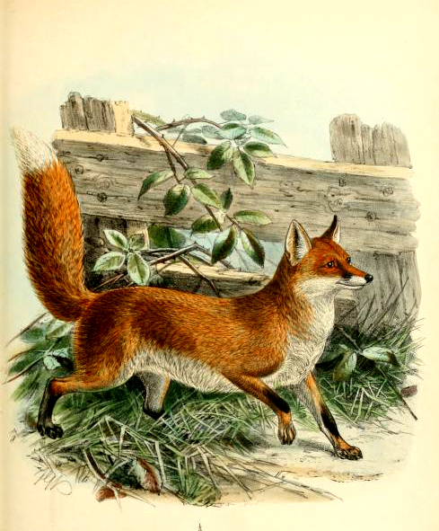 canine images of a classic fox from the 19th-century