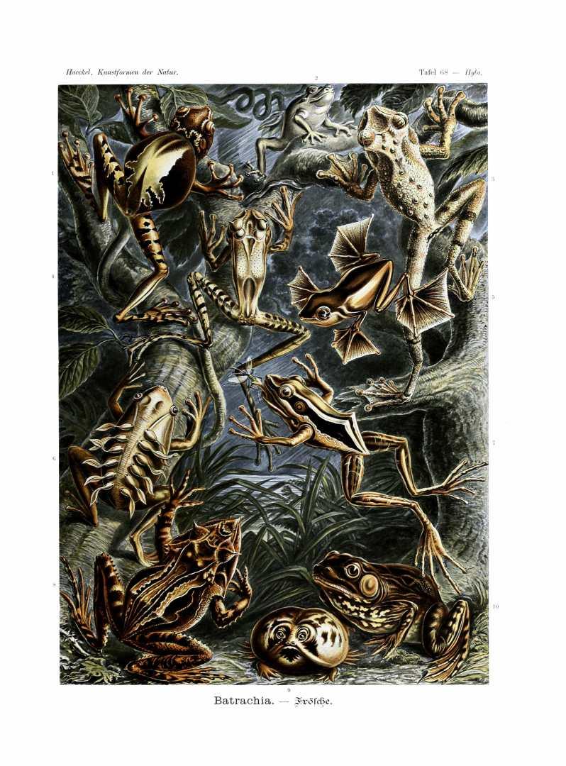 Free public domain Ernst Haeckel Batrachia amphibian illustration from the late 19th-century.