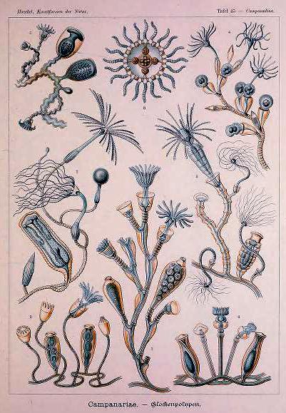 A free Ernst Haeckel Campanariae Aquatic Animals illustration from the 19th-century public domain.