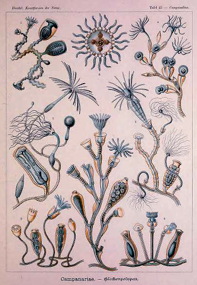 A free Ernst Haeckel Campanariae Aquatic Animals illustration from the 19th-century public domain.