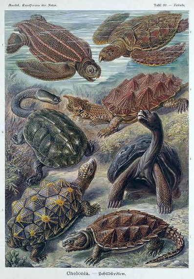 Free Ernst Haeckel Chelonia Sea turtle illustration from the late 19th-century public domain