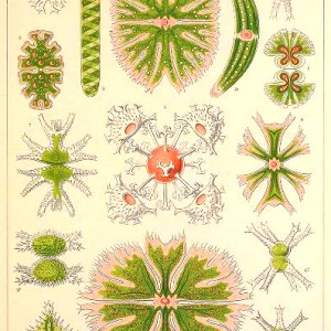 Free vintage scientific Ernst Haeckel Desmidiaceae Algae Illustration from the late 19th century