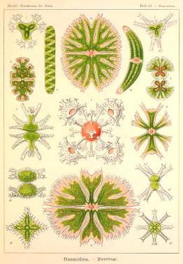 Free vintage scientific Ernst Haeckel Desmidiaceae Algae Illustration from the late 19th century