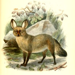 19th-century large-eared cape dog canine images