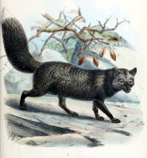 Canine Images of a 19th-Century silver fox