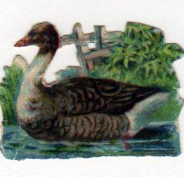 vintage nature illustrations duck in water