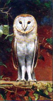 Vintage nature illustrations of white barn owl