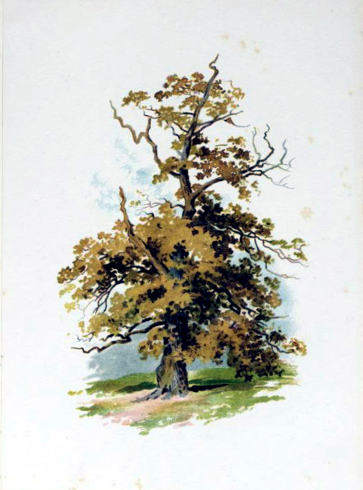 Tree illustration from the late 19th-century public domain