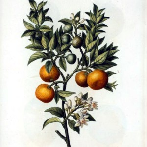 A free vintage Christmas illustration of sweet oranges from the early 19th century.